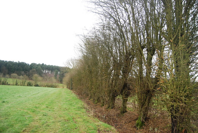 Hedge on the edge of Little Shear Wood