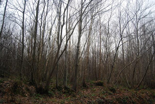 Birch & Hazel trees, Bedgebury Forest