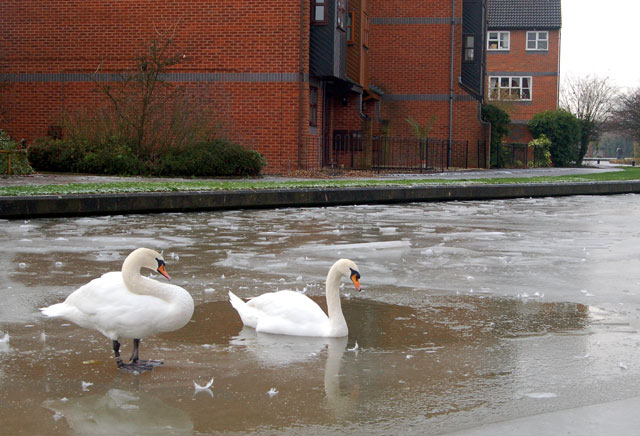 Swans on the frozen Grand Union Canal