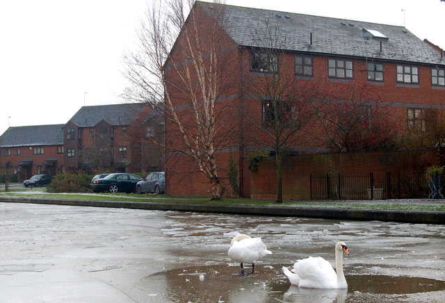 Two swans on the frozen Grand Union Canal