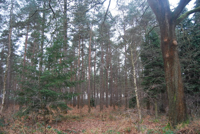 Stands of Conifers, Bedgebury Forest