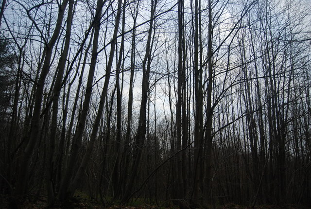 Birch trees, Bedgebury Forest
