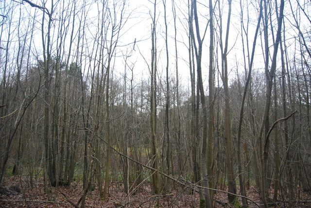 Coppiced trees, Bedgebury Forest
