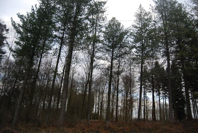 Conifers, Bedgebury Forest