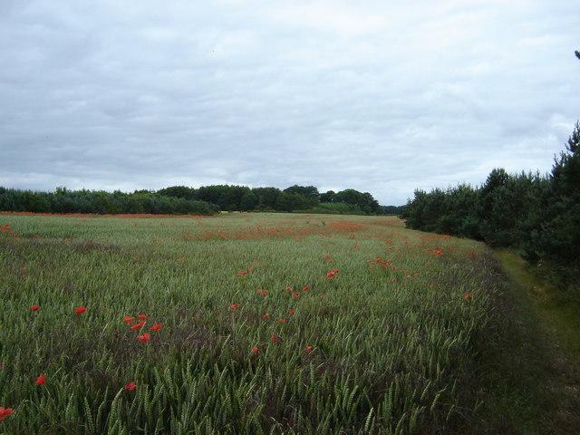 Wheat  and  Poppy  field
