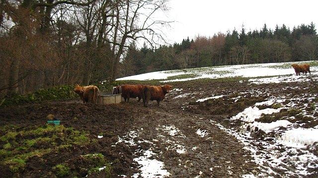 Highland cattle, Jedderfield