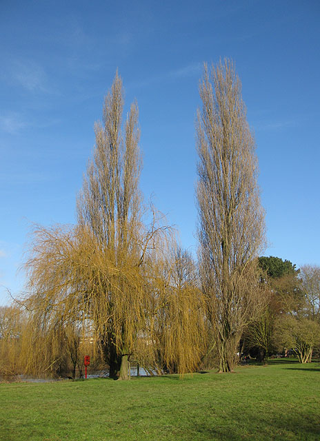 Winter willow and two poplars