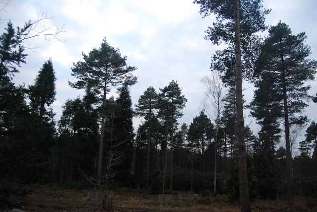 Conifers in Bedgebury Forest