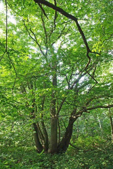 Swan Wood Coppice