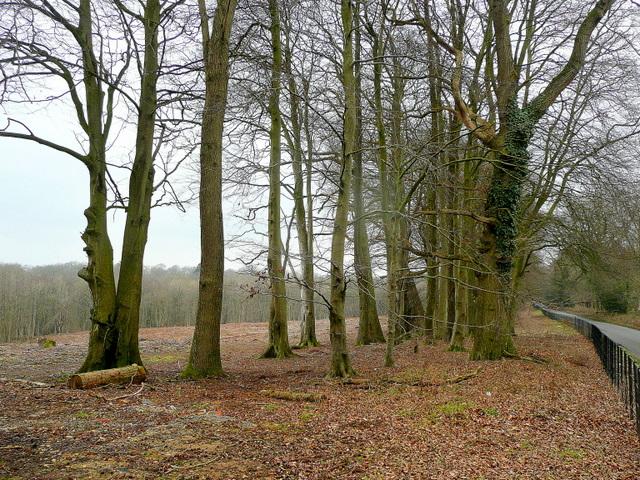Beech on Bowden Hill 2