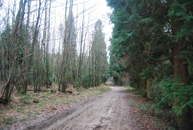 Coppiced trees on one side conifers on the other, Bedgebury Forest