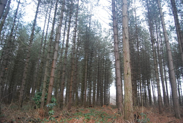 Conifer stands, Bedgebury Forest