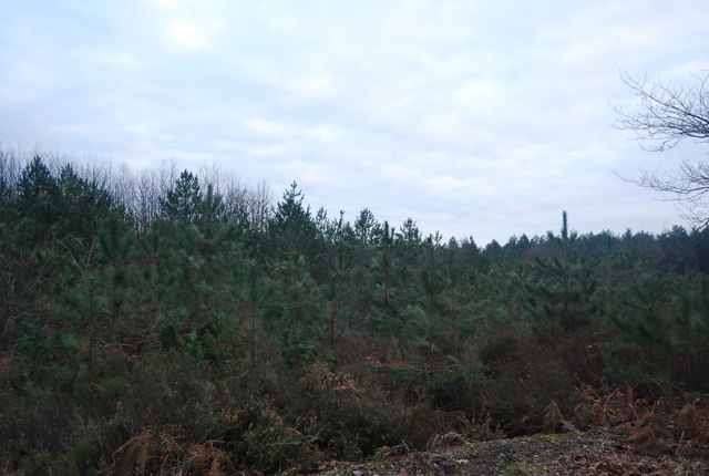 Young Christmas trees, Bedgebury Forest