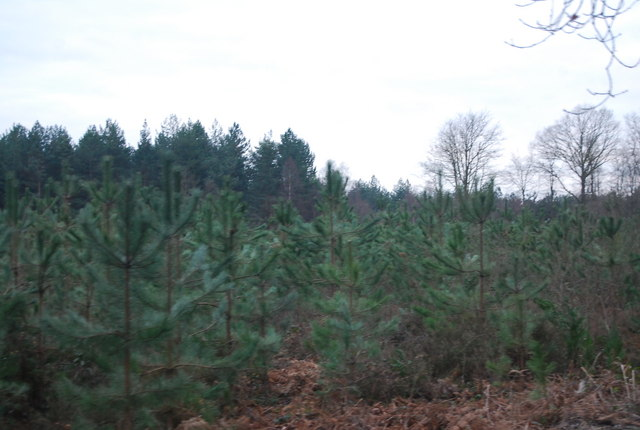Extensive stands of Christmas trees, Bedgebury Forest