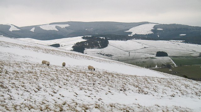 Sheep on Hamilton Hill