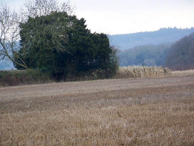 Game crop near Queenwood Farm