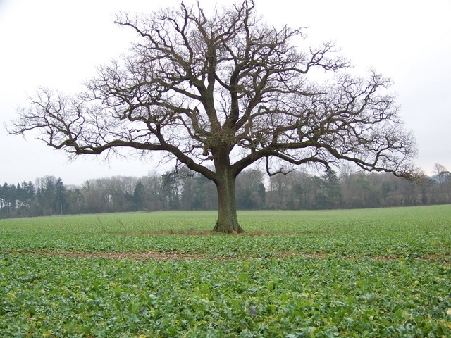 Root crops and oak tree near East Tytherley