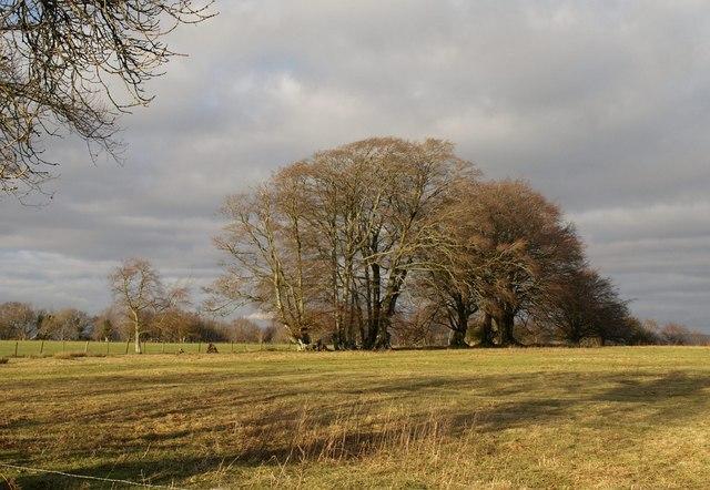 Beech trees, Leigh Hill