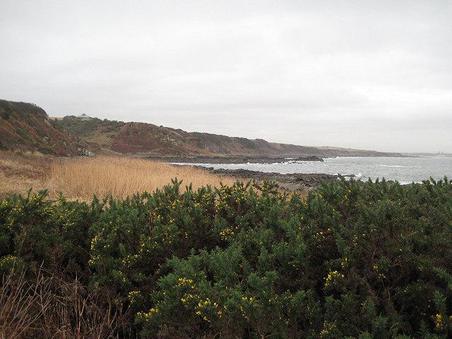 Gorse flowering on the Fife coast