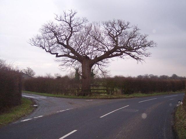 Vitters Oak