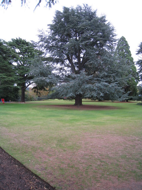 Cedar Tree - Odney Club