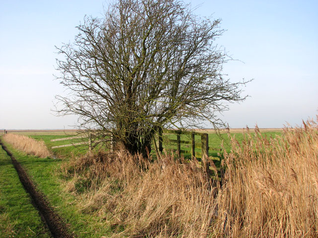 A tree in the Belton Marshes