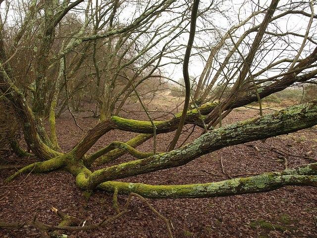 Tree on Stoborough Heath