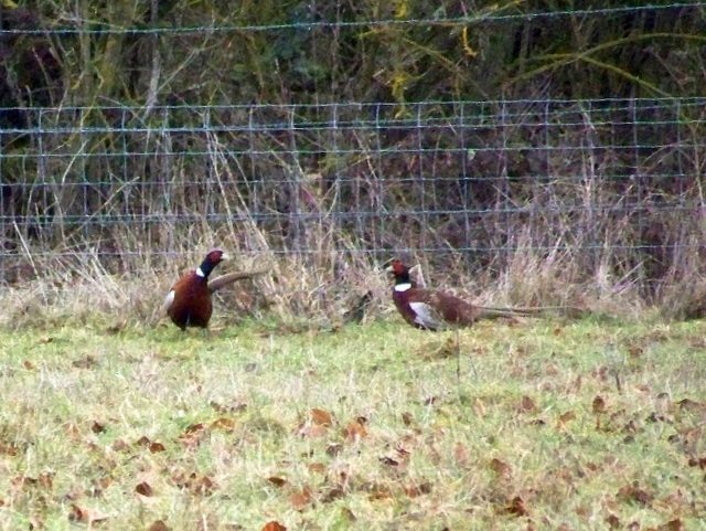 Cock pheasants (1) near Houghton