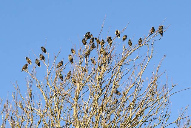 Starlings at Heptonstall churchyard