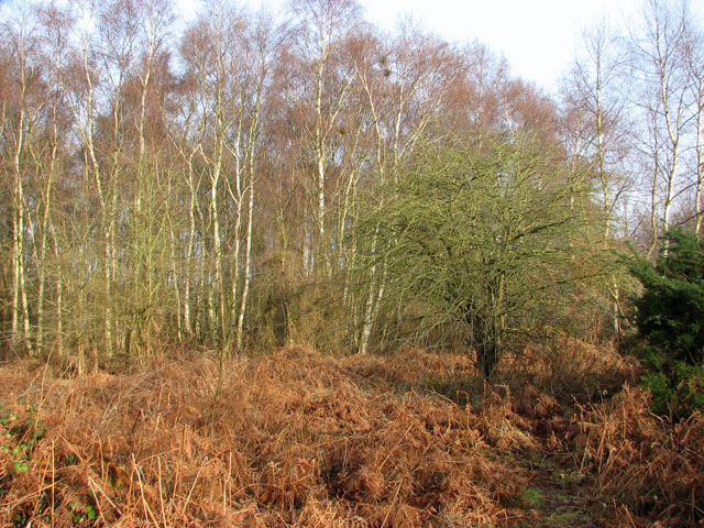 Bracken and birches in the Carr
