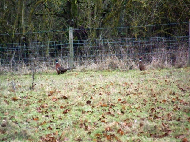 Cock pheasants (3) near Houghton