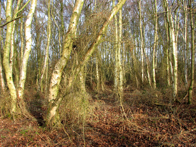 A stand of birches in the Carr