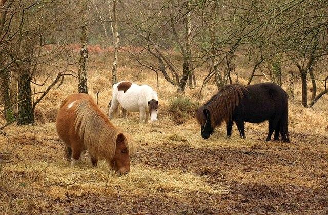 Ponies on Stoborough Heath