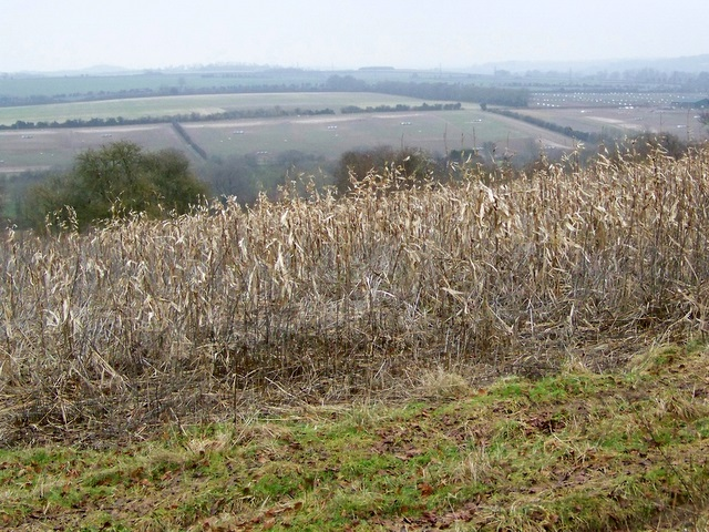 Maize crop near Houghton
