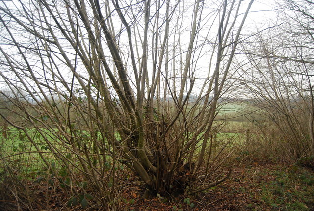Coppiced tree by the bridleway to Wat Stock