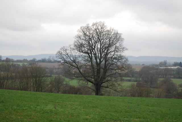 Single tree in a field near Gilridge