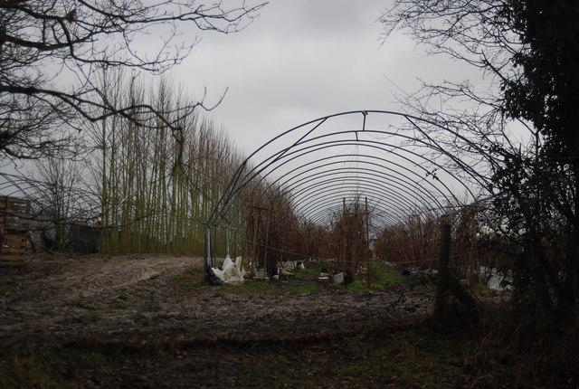 Polytunnels by a shelterbelt