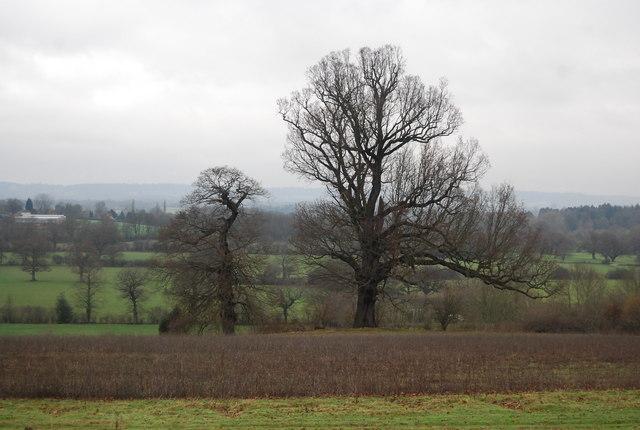 Two trees in an arable field