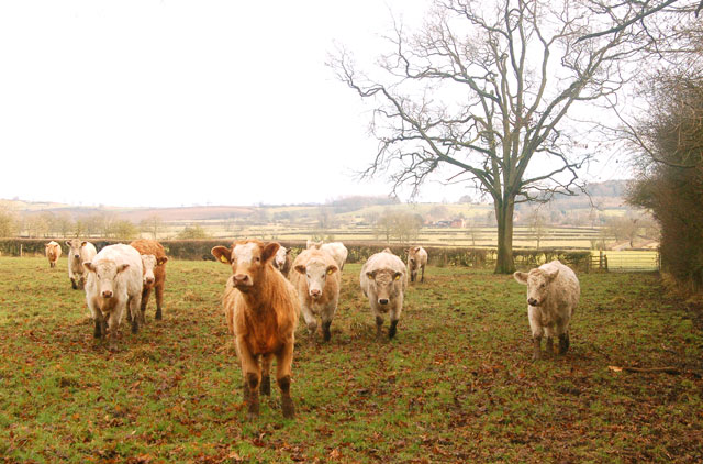 Cattle beside Calcutt Spinney