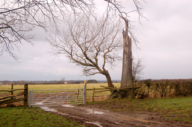 Bridleway gate and dead tree near Calcutt Spinney