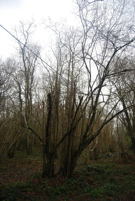 Coppiced tree by Weller's Town Rd