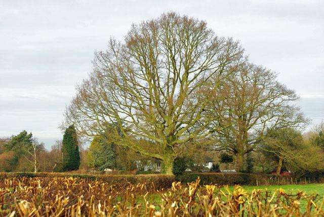 Hedgerow trees