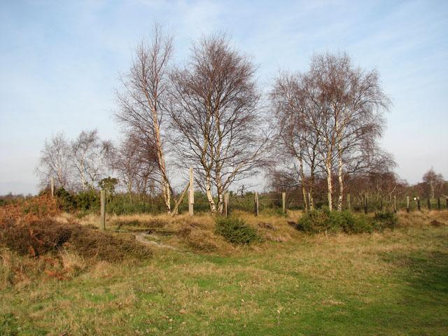 Birch trees growing beside dismantled railway trackbed