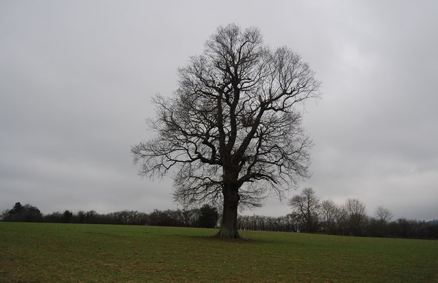 Tree by the path to Chiddingstone