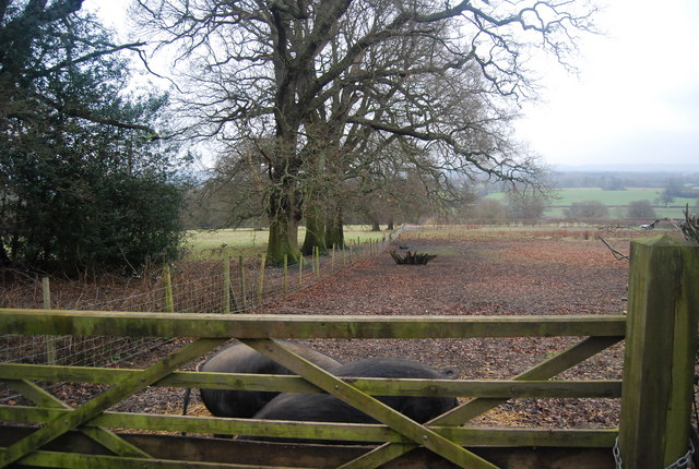 Pigs behind a gate, Chiddingstone