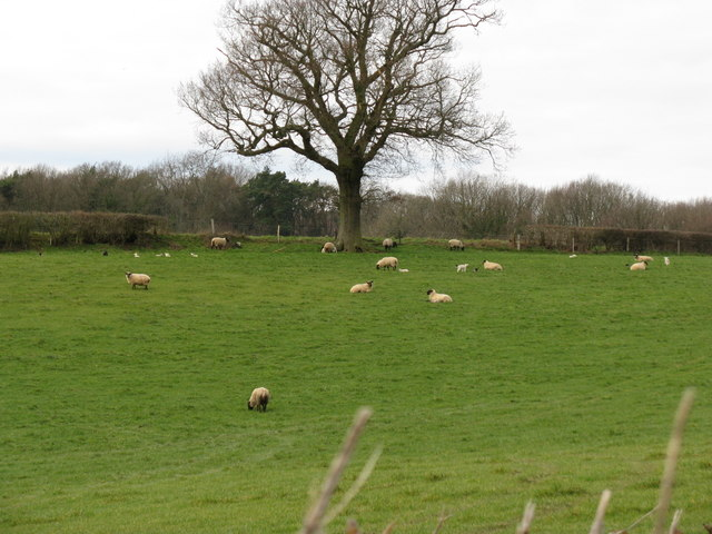 Lambs near Northchapel