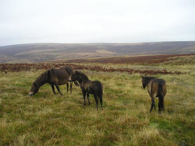Endangered Exmoors
