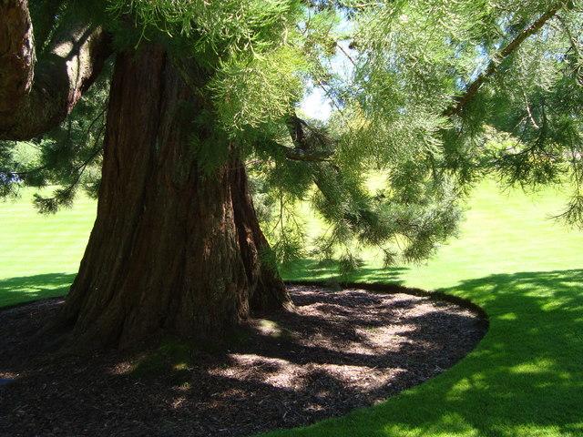 Wellingtonia, Geilston Garden