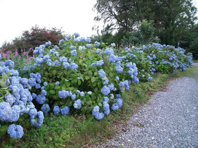 Blue hydrangeas near Armadale