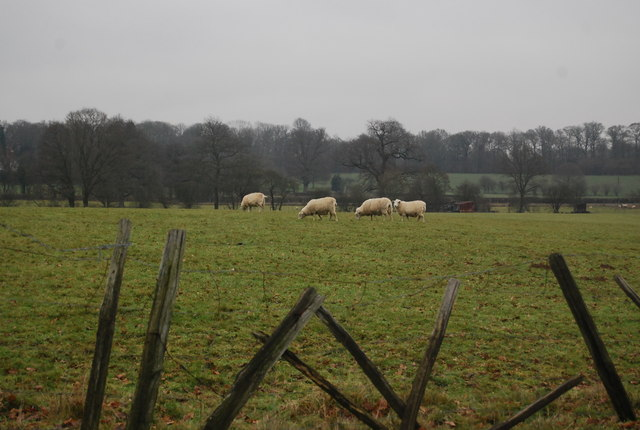 Sheep grazing in a field south of Penshurst Station
